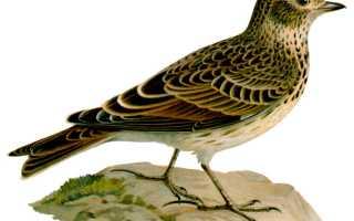 Птичка жаворонок певчим птицам царь
