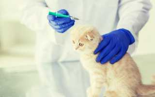 Прививки шотландским вислоухим котятам
