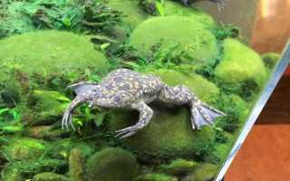 Шпорцевая лягушка содержание аквариуме, уход, кормление, болезни, фото-видео обзор