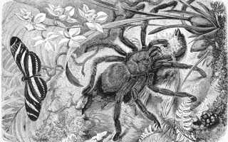 Как выглядит паук птицеед