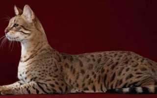 Породы кошек с ушами