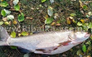 Какие бывают хищные рыбы