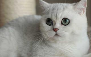 Кошки породы шиншилла короткошерстные