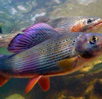 Речная рыба хариус