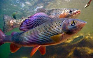 К какому виду рыб относится хариус