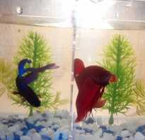 Какие рыбки могут жить с петушками