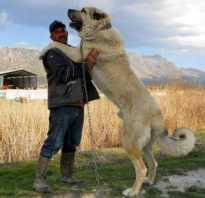 Тибетский мастиф и алабай сравнение