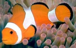 Рыба клоун аквариумная в пресной
