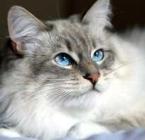 Сибирская кошка: описание и характеристика породы, темперамент и характер