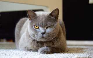 Лишай у кошки фото лечение