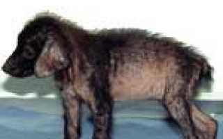 Саркоптоз у собак: симптомы и лечение