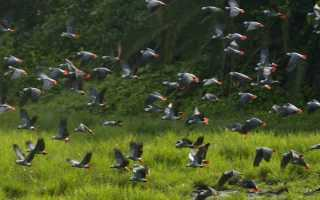 Сколько видов попугаев существует в мире