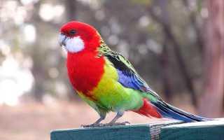 Попугай розелла разговаривает или нет