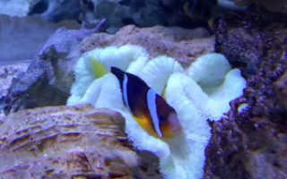 Морская рыба клоун