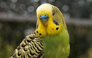 Бывают ли блохи у волнистых попугаев