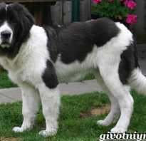Ландсир: описание породы собак — Моя собака