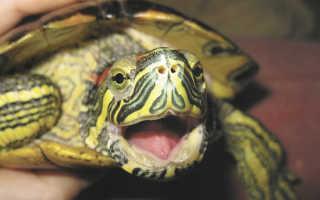 Умна ли красноухая черепаха
