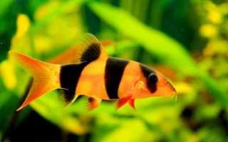 Рыбки боции содержание