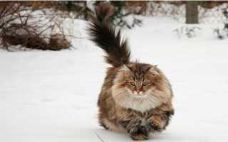 Топ 10 умных пород кошек