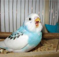 Волнистый попугай часто открывает клюв