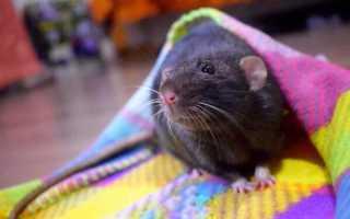 Укусила домашняя крыса за палец