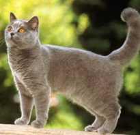 Картезианская кошка (шартрез): описание породы, 25 фото, цена