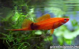 Меченосец аквариумная рыбка виды