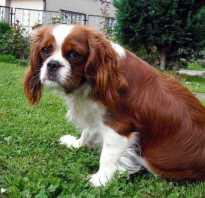 Геморрагический лептоспироз у собак: что это такое, симптомы и лечение, вакцина и прививка