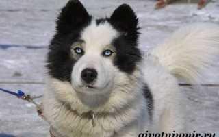 Лайка якутская фото