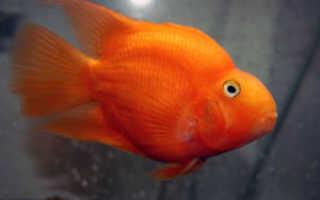 Рыба попугай содержание и уход