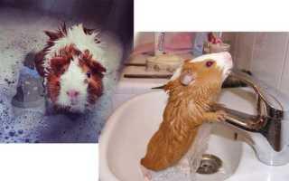 Как часто мыть морскую свинку