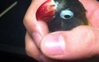Болезни попугаев неразлучников и их симптомы