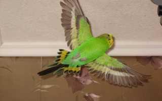 Волнистый попугай плохо летает и падает