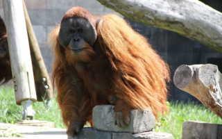 Орангутан красная книга