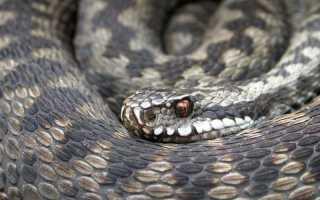 Ядовитые змеи россии фото