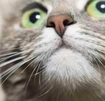 Почему у кота мокрый нос: что это значит, как он отражает состояние здоровья