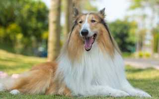 Описание щенка колли