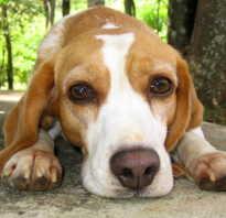 Что такое пироплазмоз у собак