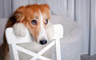 Недержание мочи у собаки: причины, что делать и лечение, собака часто мочится