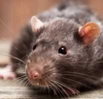 Крыса умирает что делать