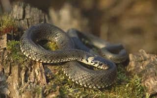 Змея отличается желтыми ушами