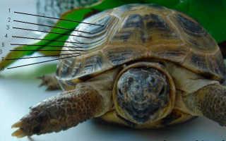 До скольки см вырастают красноухие черепахи