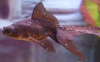 Ихтиофтириоз (манка): лечение в общем аквариуме в домашних условиях, признаки болезни у рыб