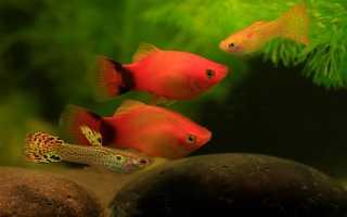 Виды живородящих аквариумных рыбок