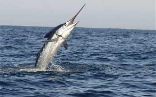 Рыба меч описание