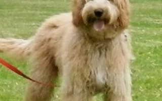 Лабрадудель: описание породы — Моя собака