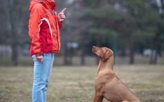 Дрессировка собаки самостоятельно курс