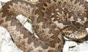 Змеи в курской области фото
