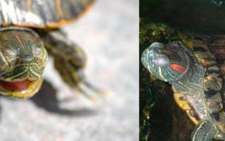 Как усыпить черепаху