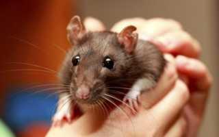 Звук стаи крыс